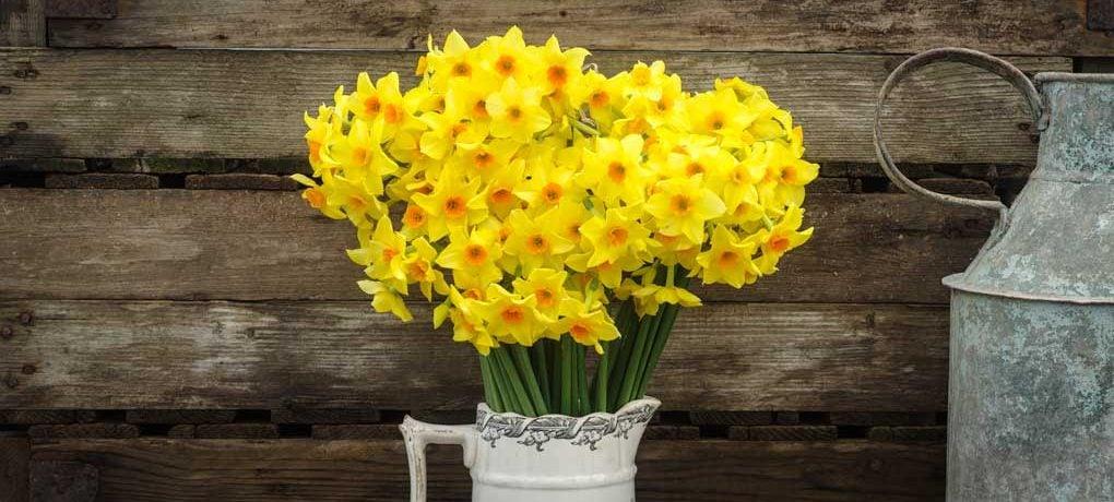 narcisi-fiori-primavera-