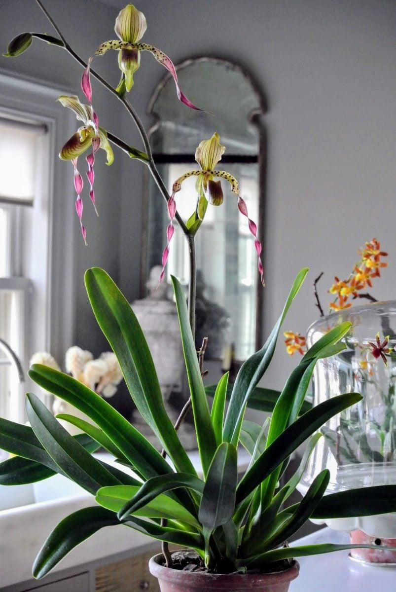 orchidee-3