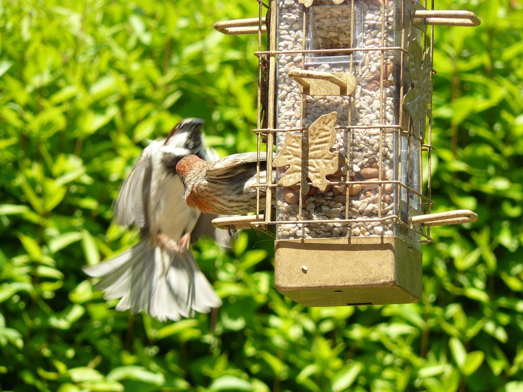mangiatoia-uccelli