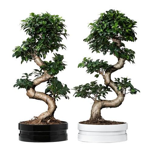 ficus-microcarpa-ginseng-pianta-con-vaso-colori