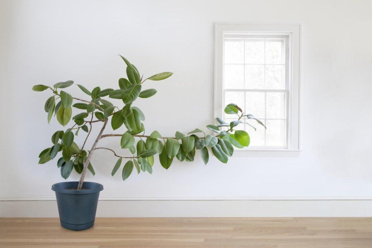 ficus-pianta