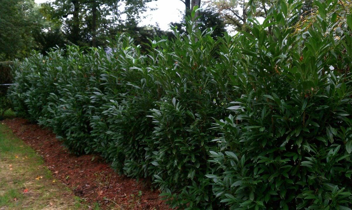 ringhiera-giardino-siepe-alloro