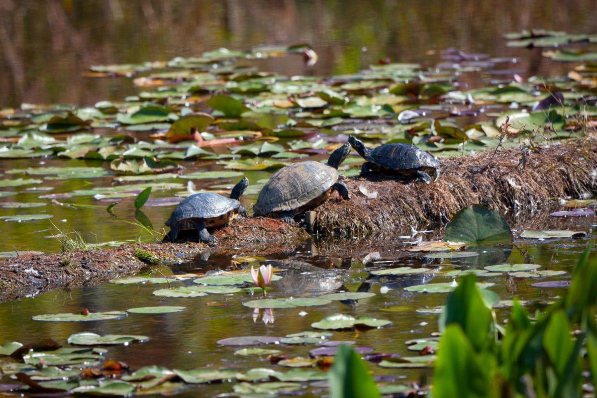 impianto-fitodepurazione-tartarughe
