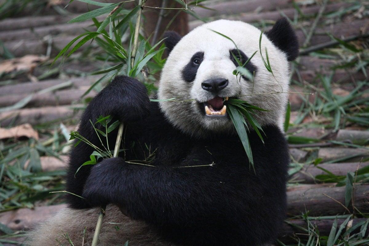 bamboo-panda