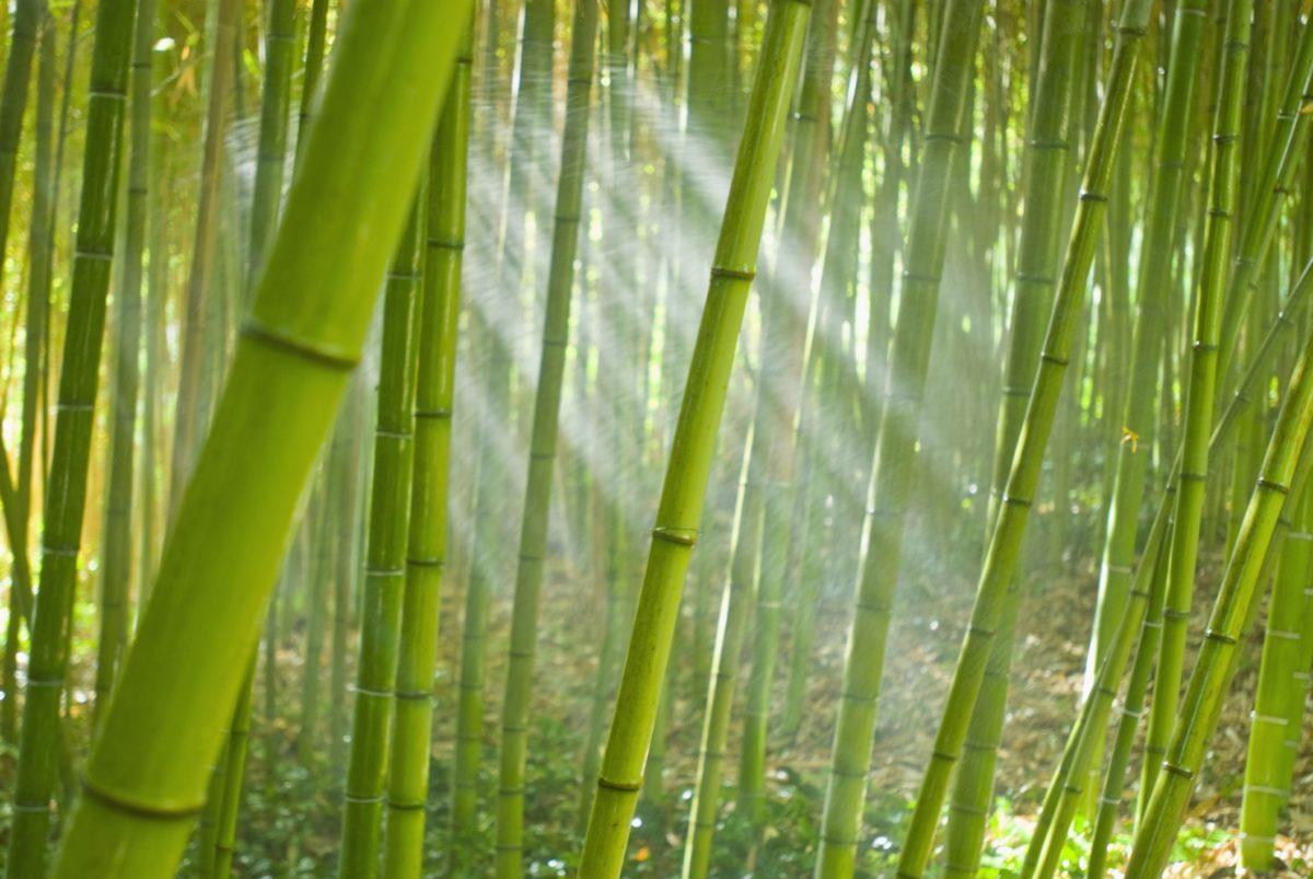 bamboo-pianta