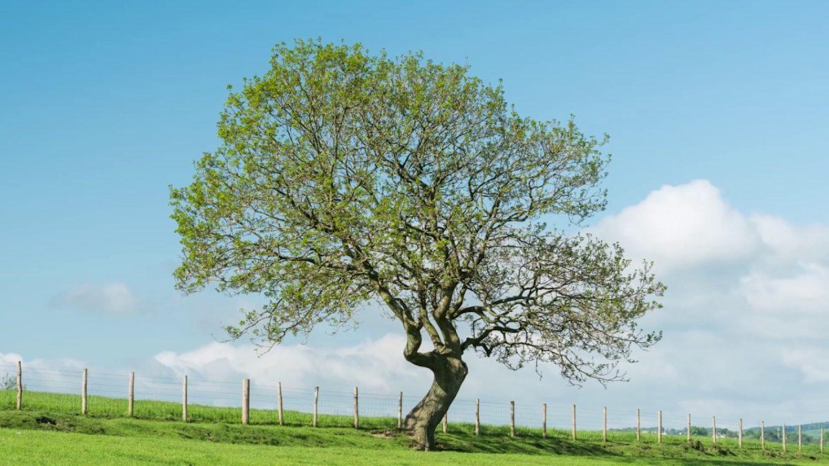 albero-frassino