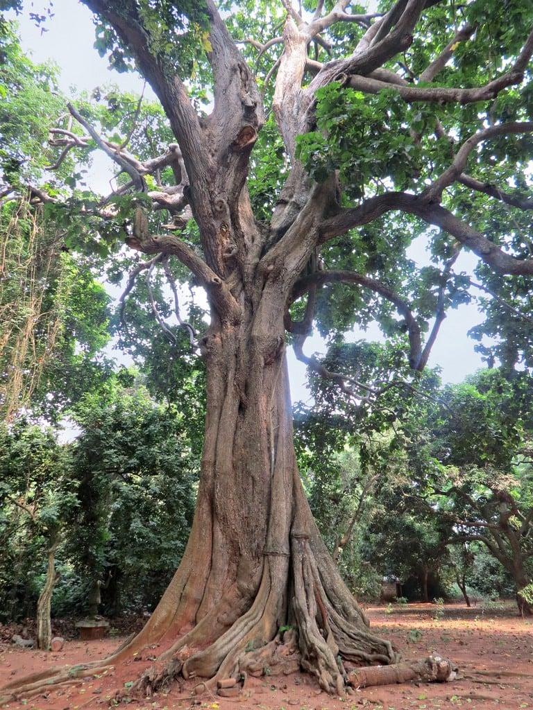albero-iroko