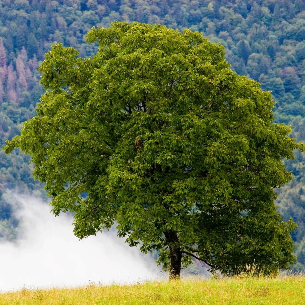 albero-noce-americano