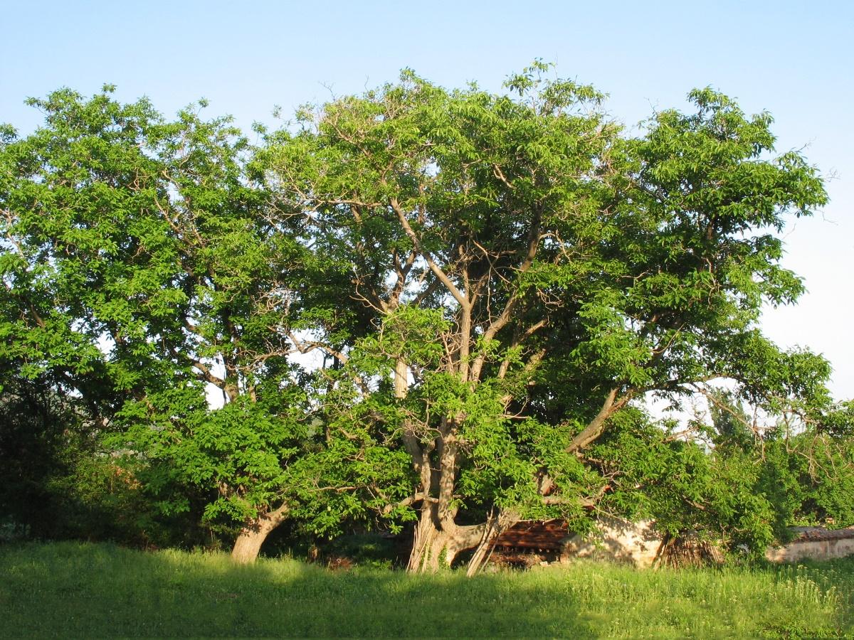 albero-noce-europeo