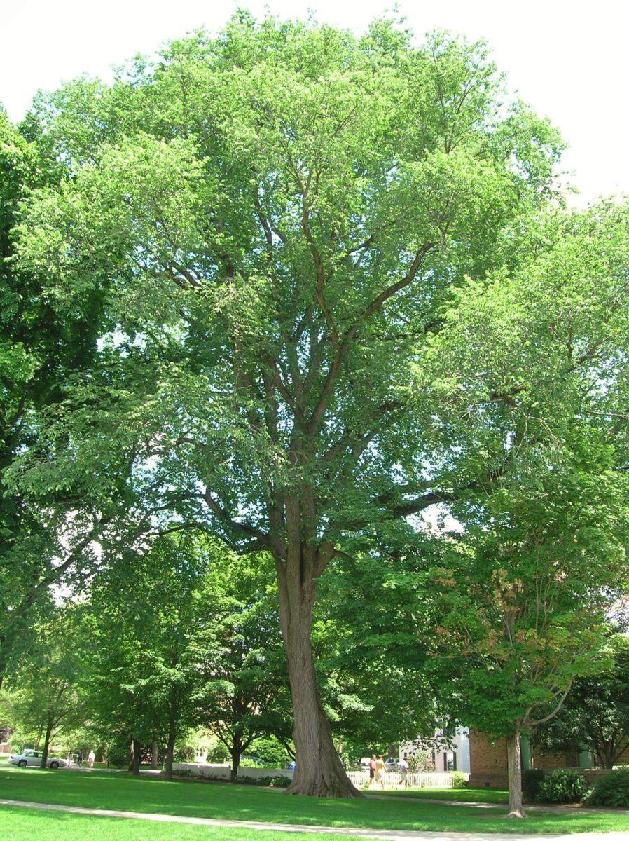 albero-olmo-americano