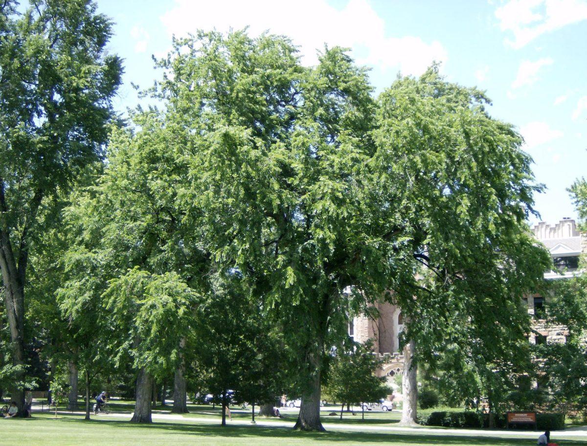 albero-olmo-europeo