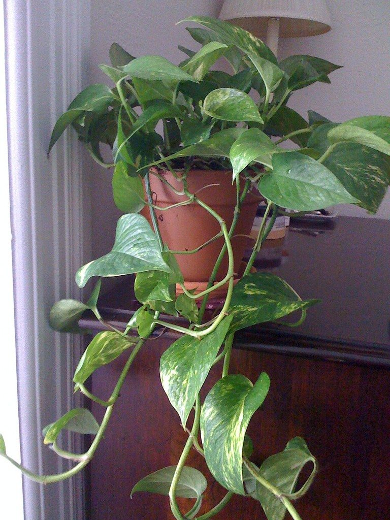 pothos-pianta