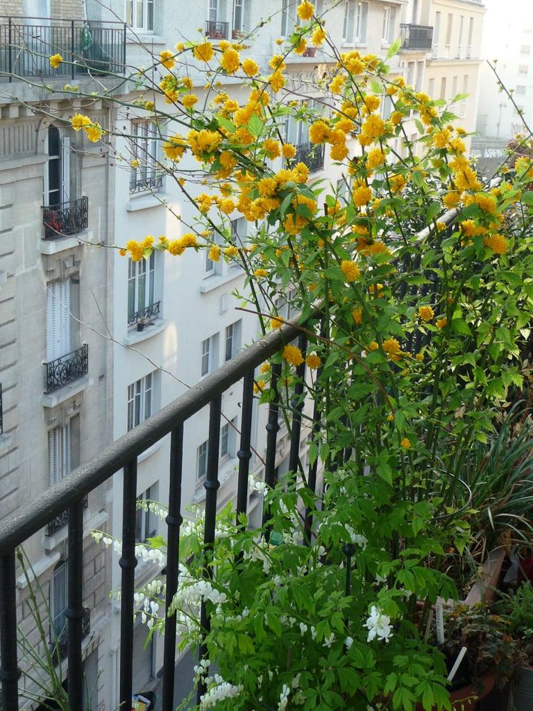 siepe-balcone-forsizia
