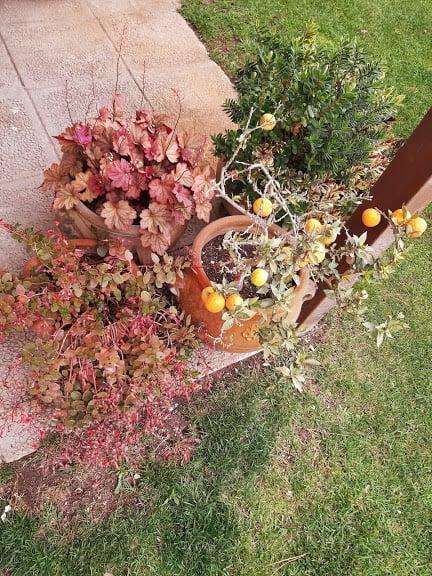 come-disporre-piante-giardino-piccoli-agrumi