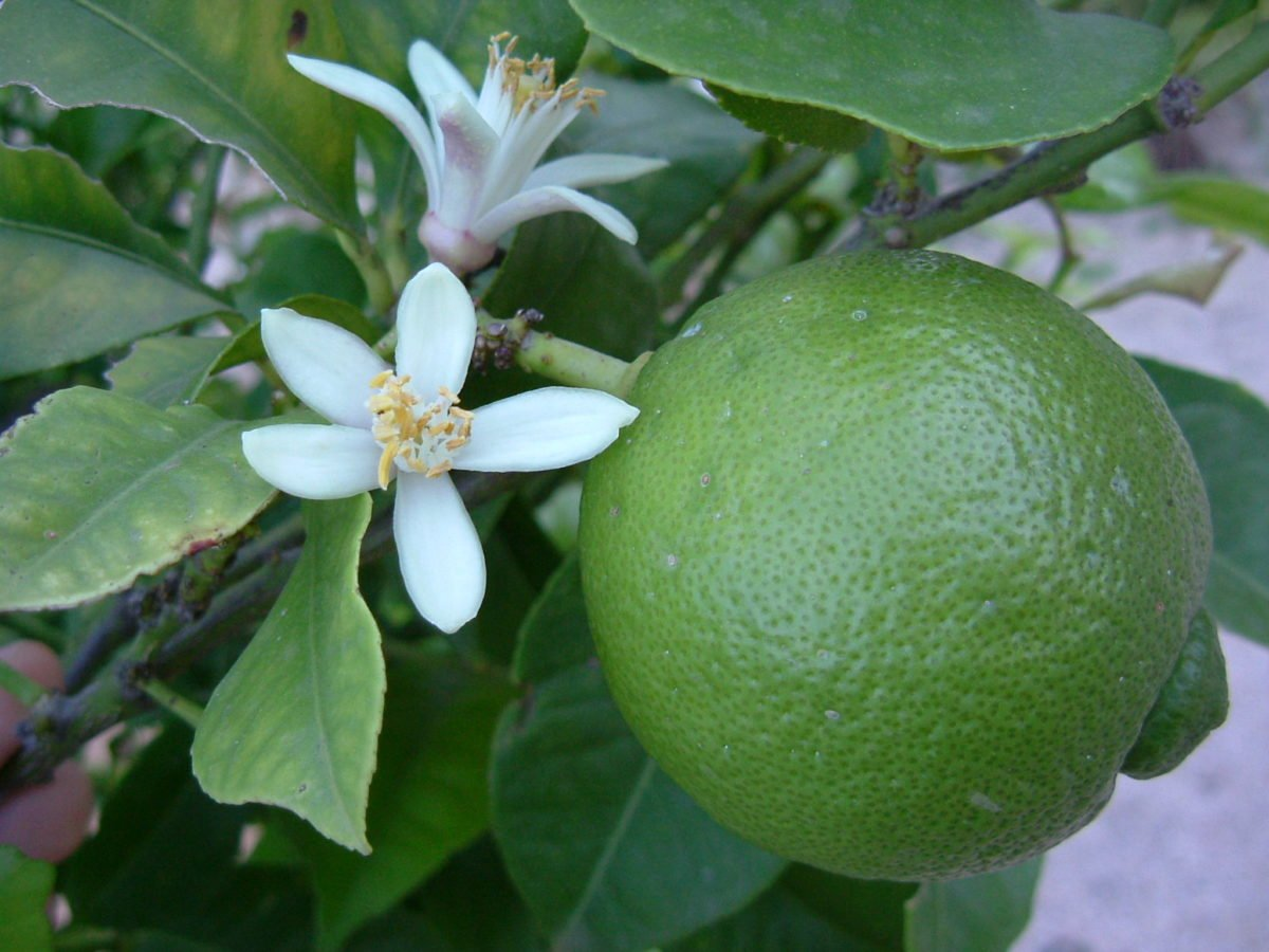 lime-frutto