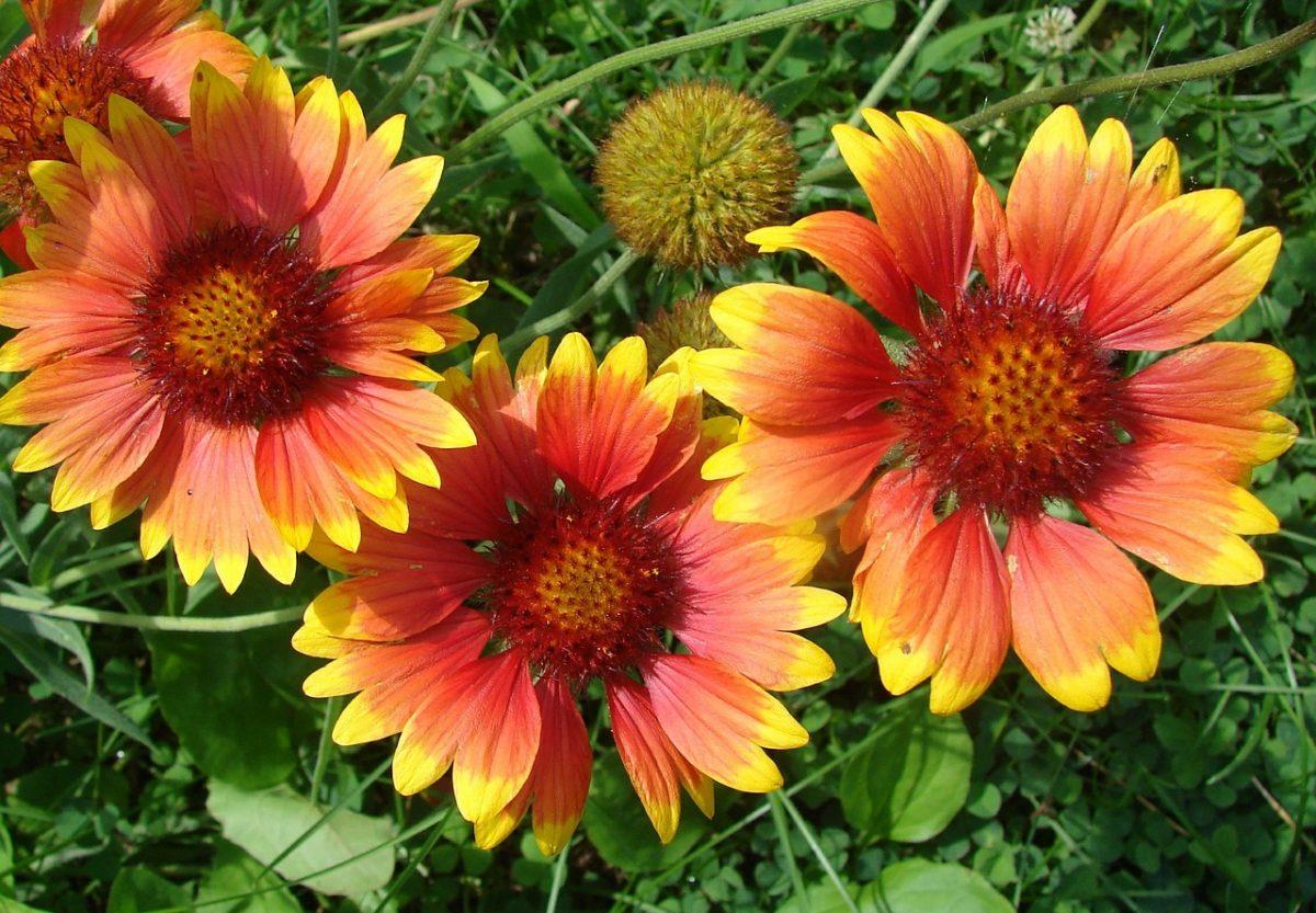 Gaillardia fiore resistente al caldo