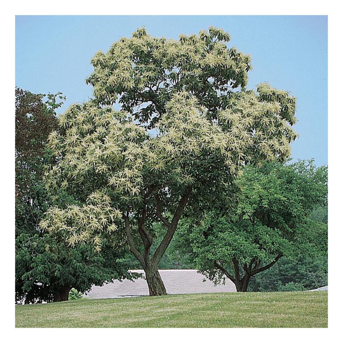 color-castagno-pianta