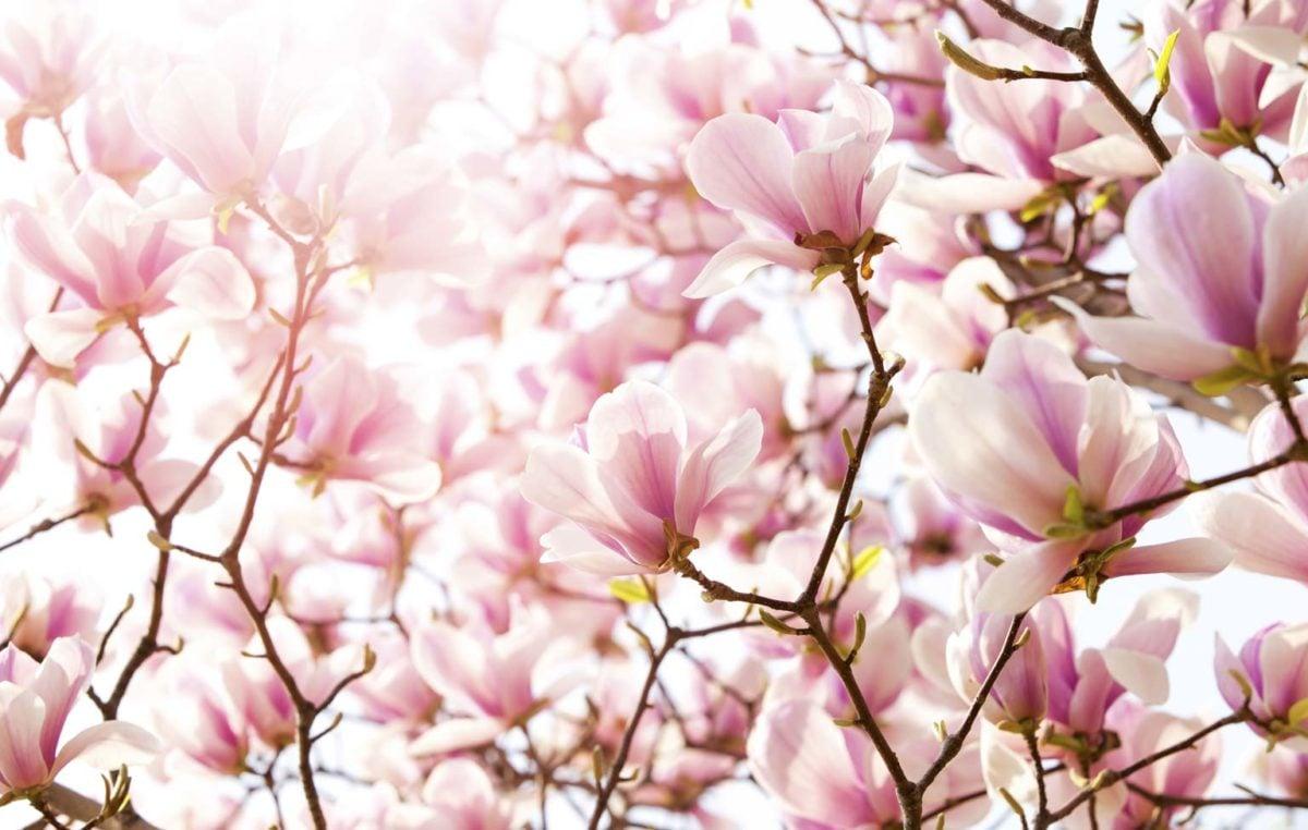 color-magnolia-fiore