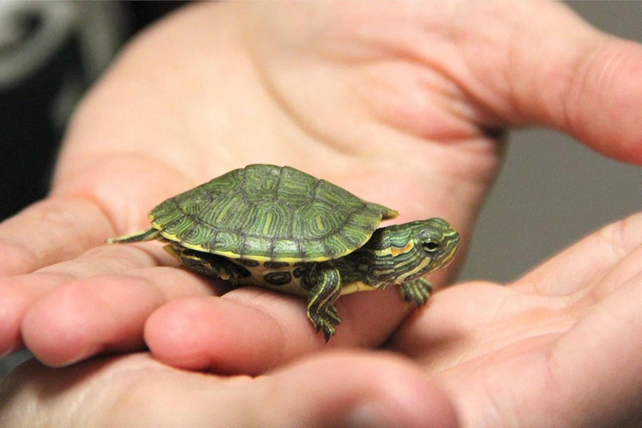 pulire-vasca-tartarughe
