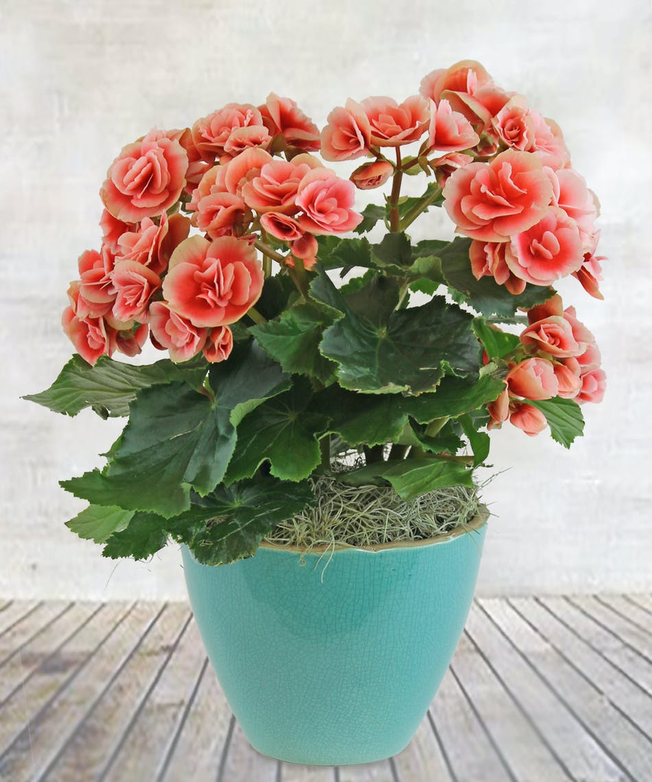 10-piante-ideali-bagno-begonia