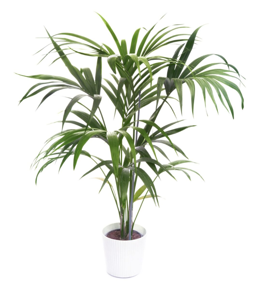 10-piante-ideali-bagno-kentia