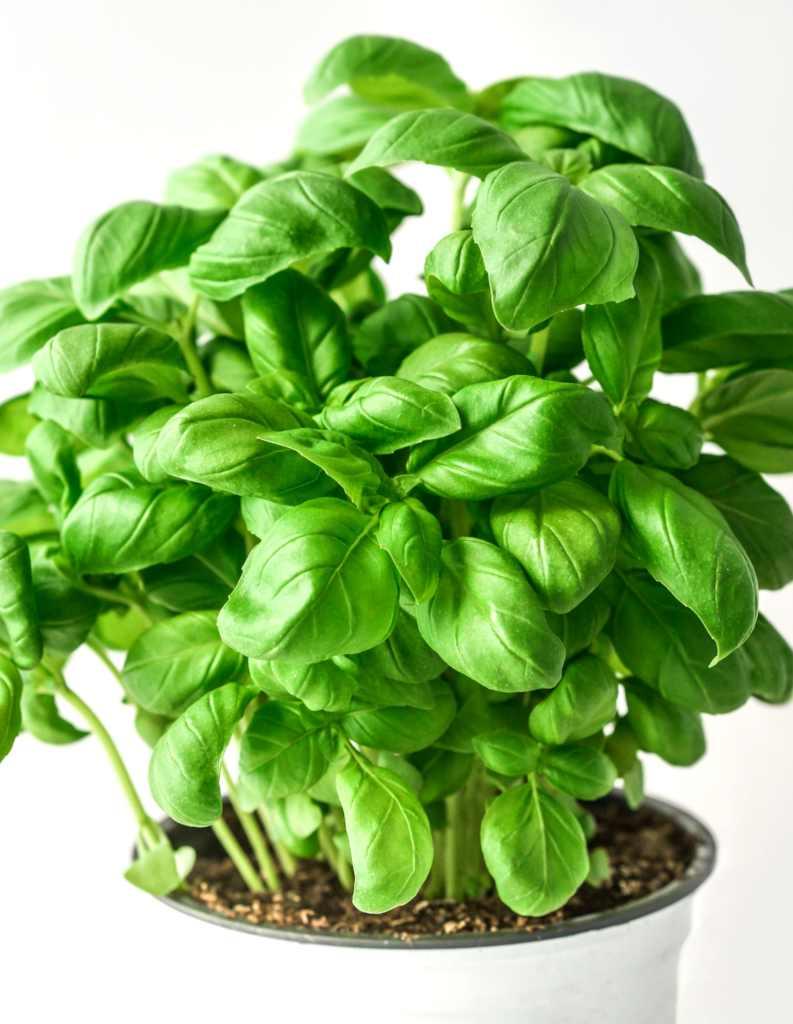 10-piante-pieno-sole-basil-1
