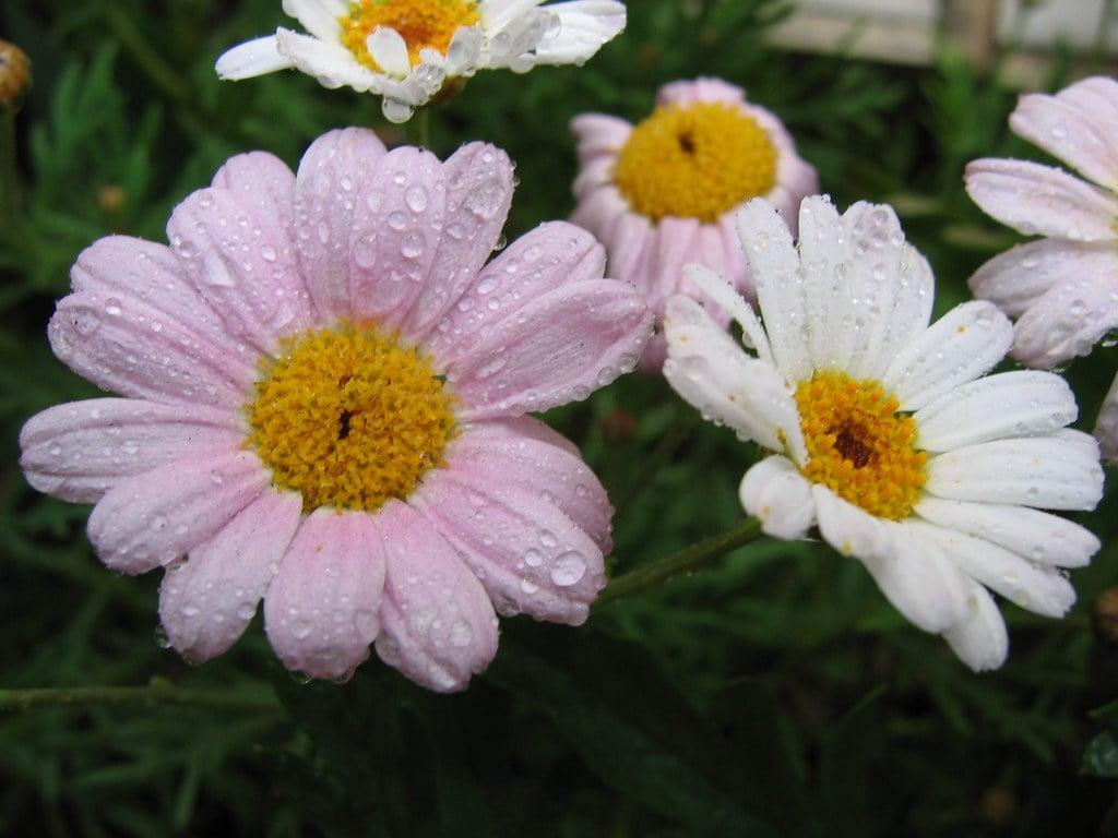 10-piante-pieno-sole-margherita-1