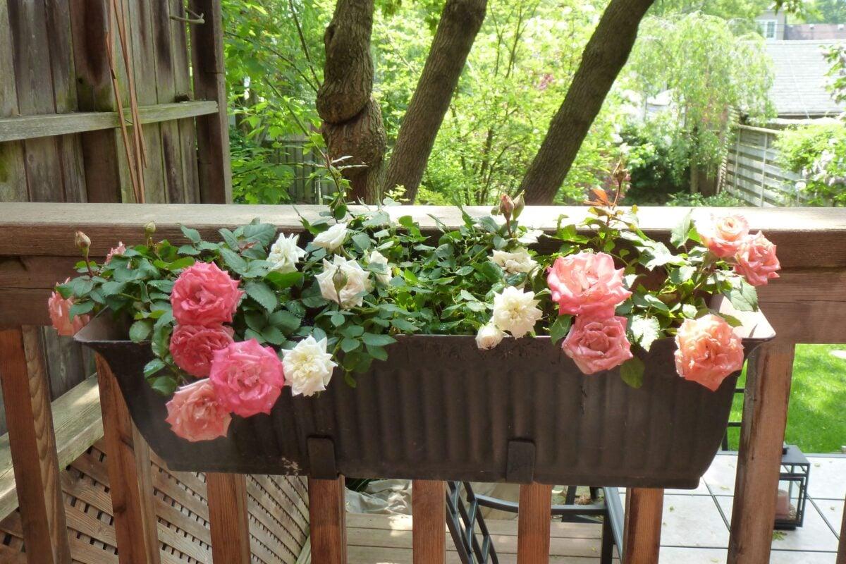 10-piante-pieno-sole-rosa1