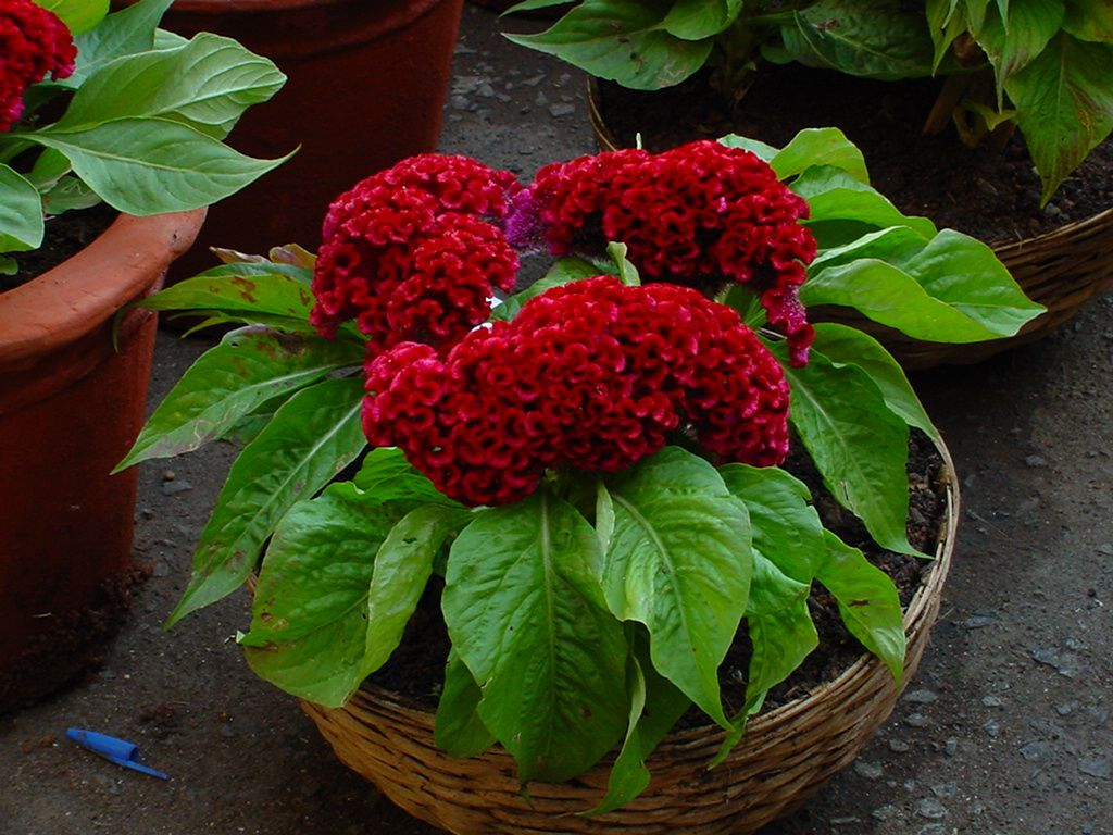 10-piante-rosse-celosia-4