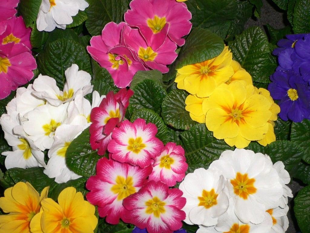 fiori-agosto-primula 1