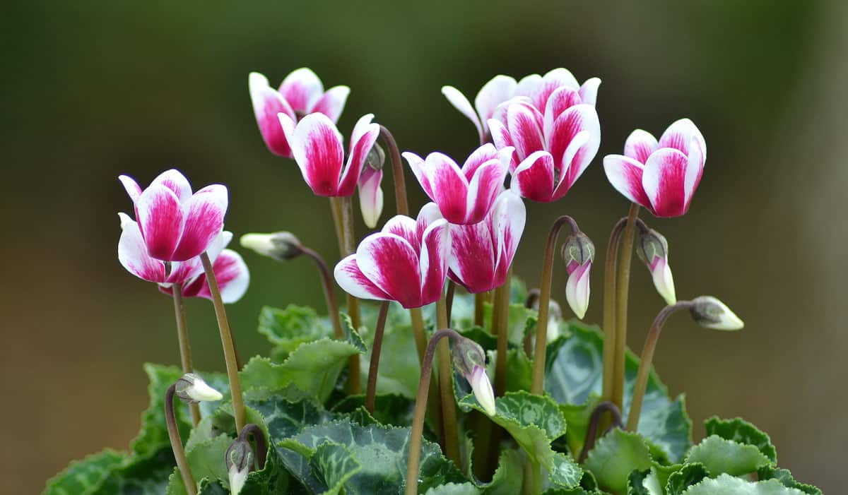 piante-portafortuna-ciclamino