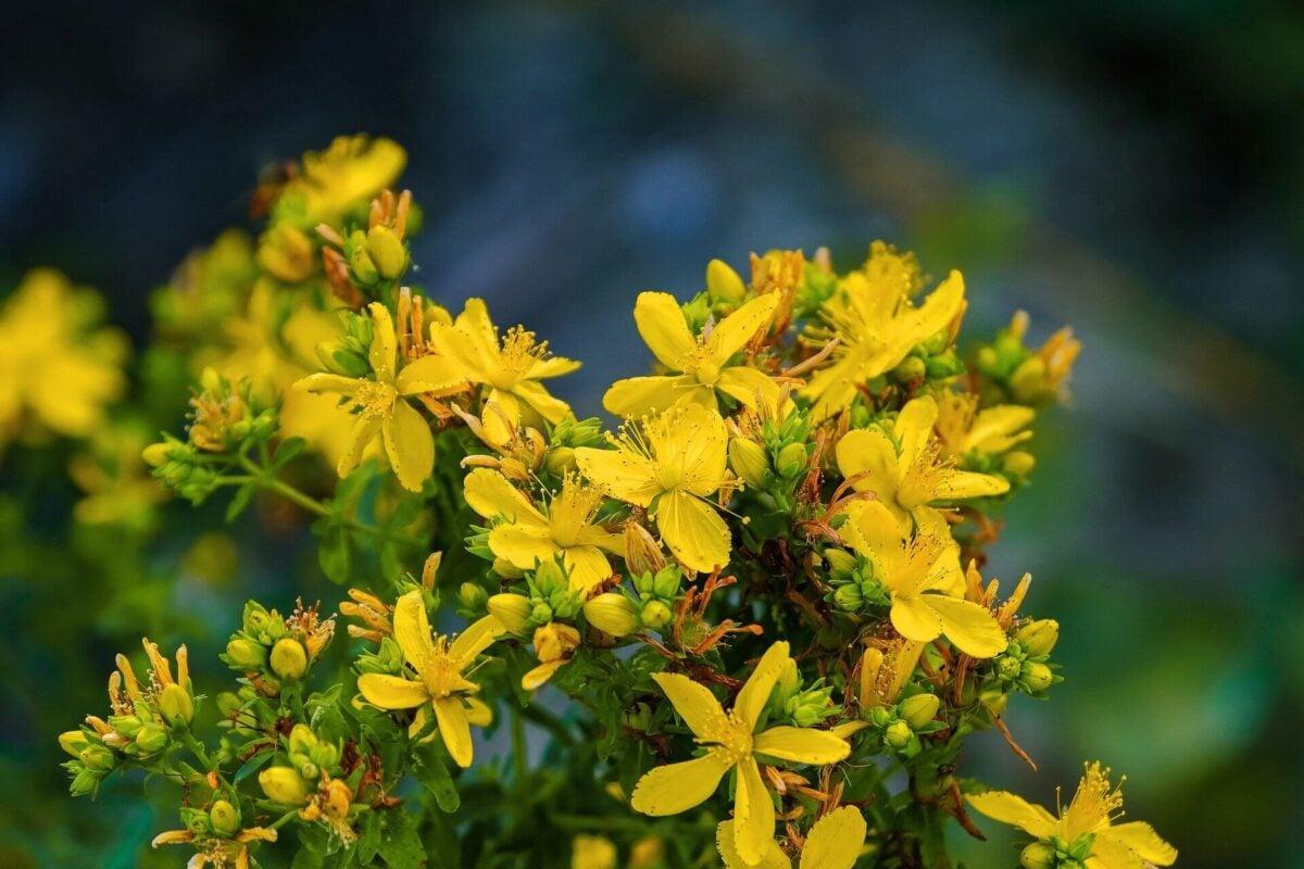piante-portafortuna-iperico