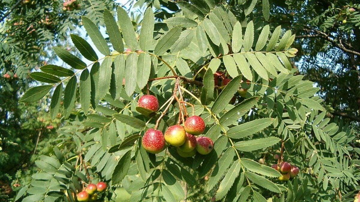 piante-portafortuna-sorba