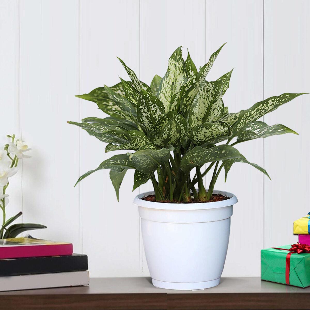 pianta-umidita-aglaonema-1