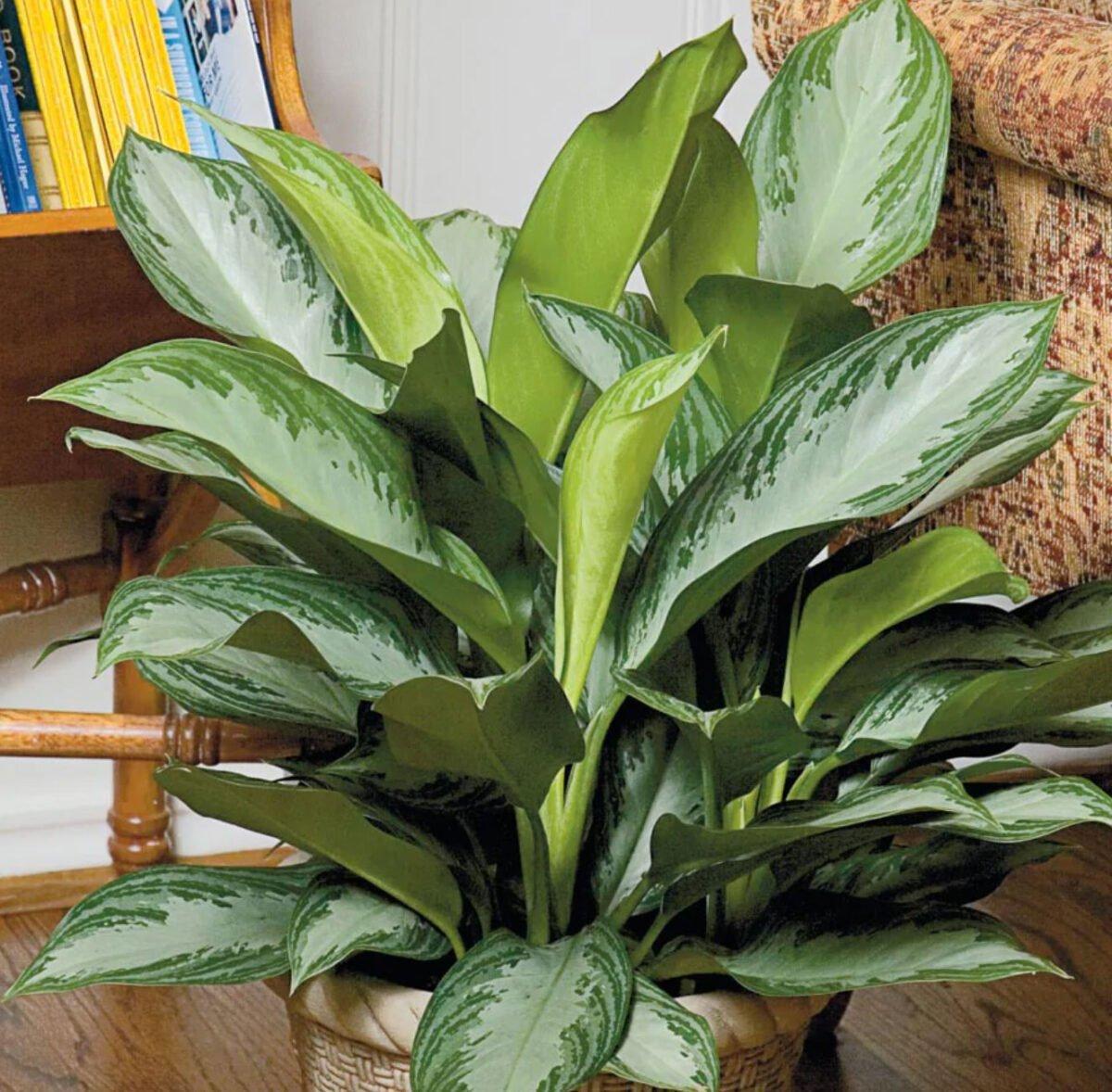 pianta-umidita-aglaonema-2
