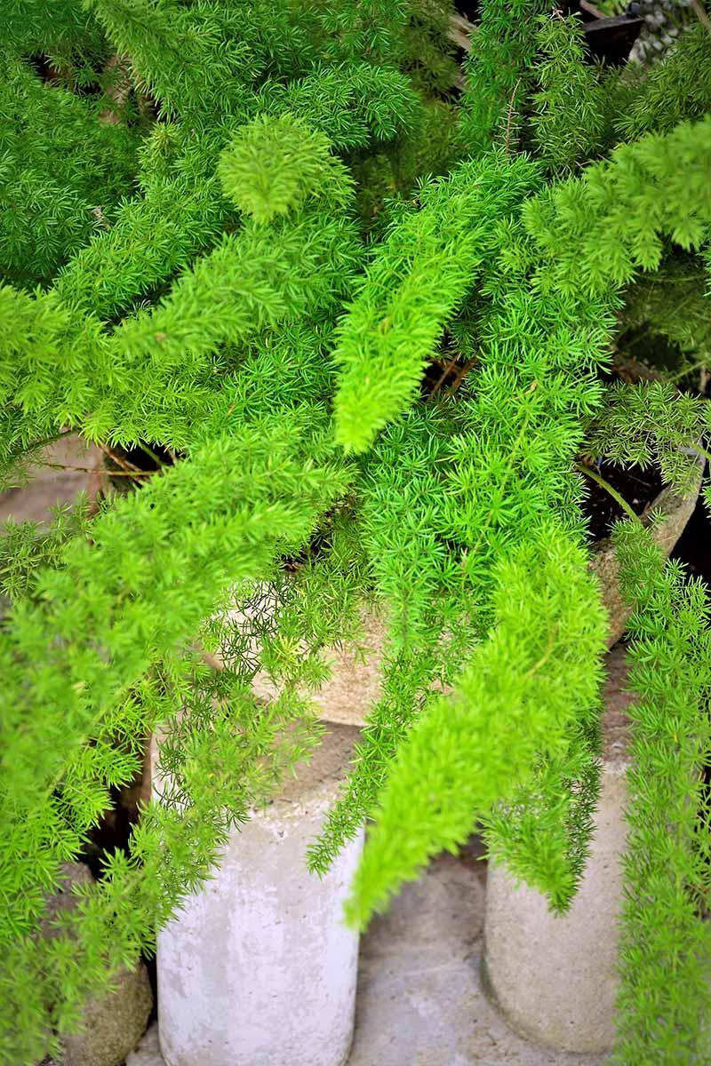 pianta-umidita-asparagina-1