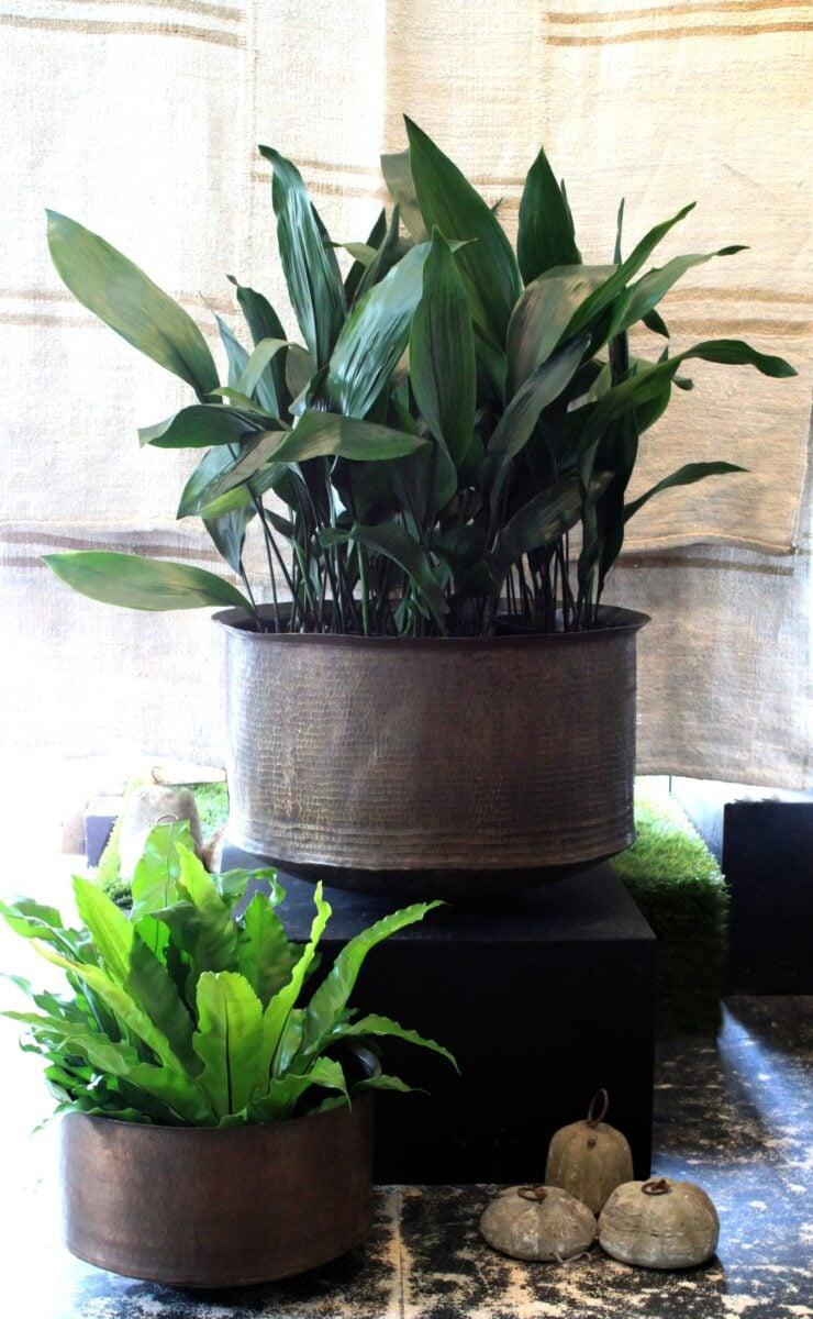 pianta-umidita-aspidistra-1