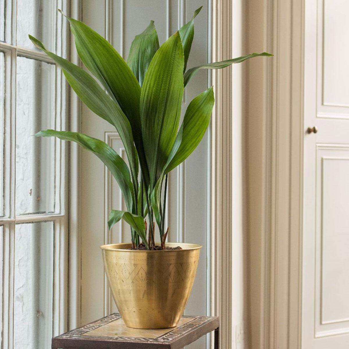 pianta-umidita-aspidistra-2