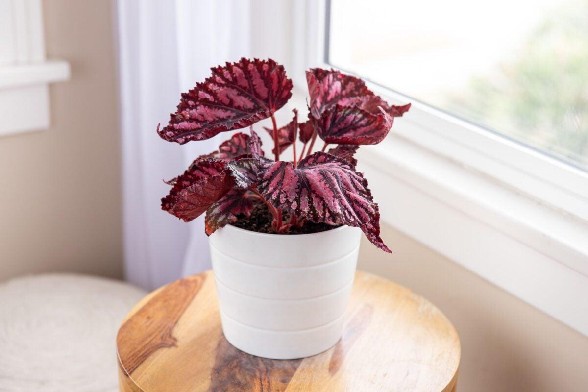 pianta-umidita-begonia-1