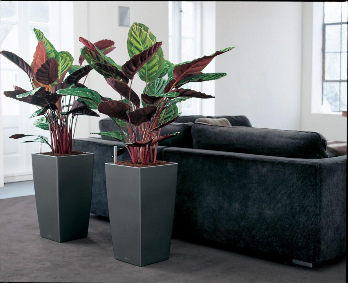pianta-umidita-calatea-1