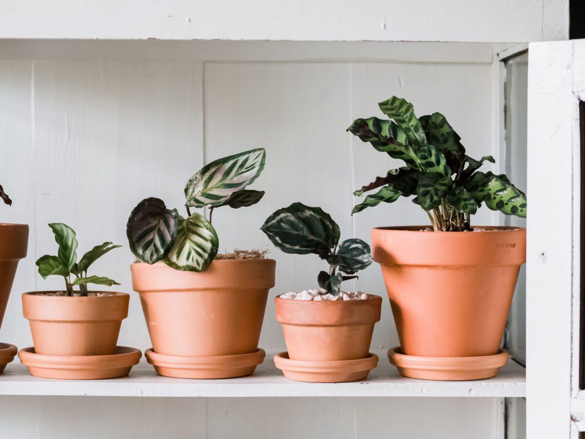 pianta-umidita-calatea-2