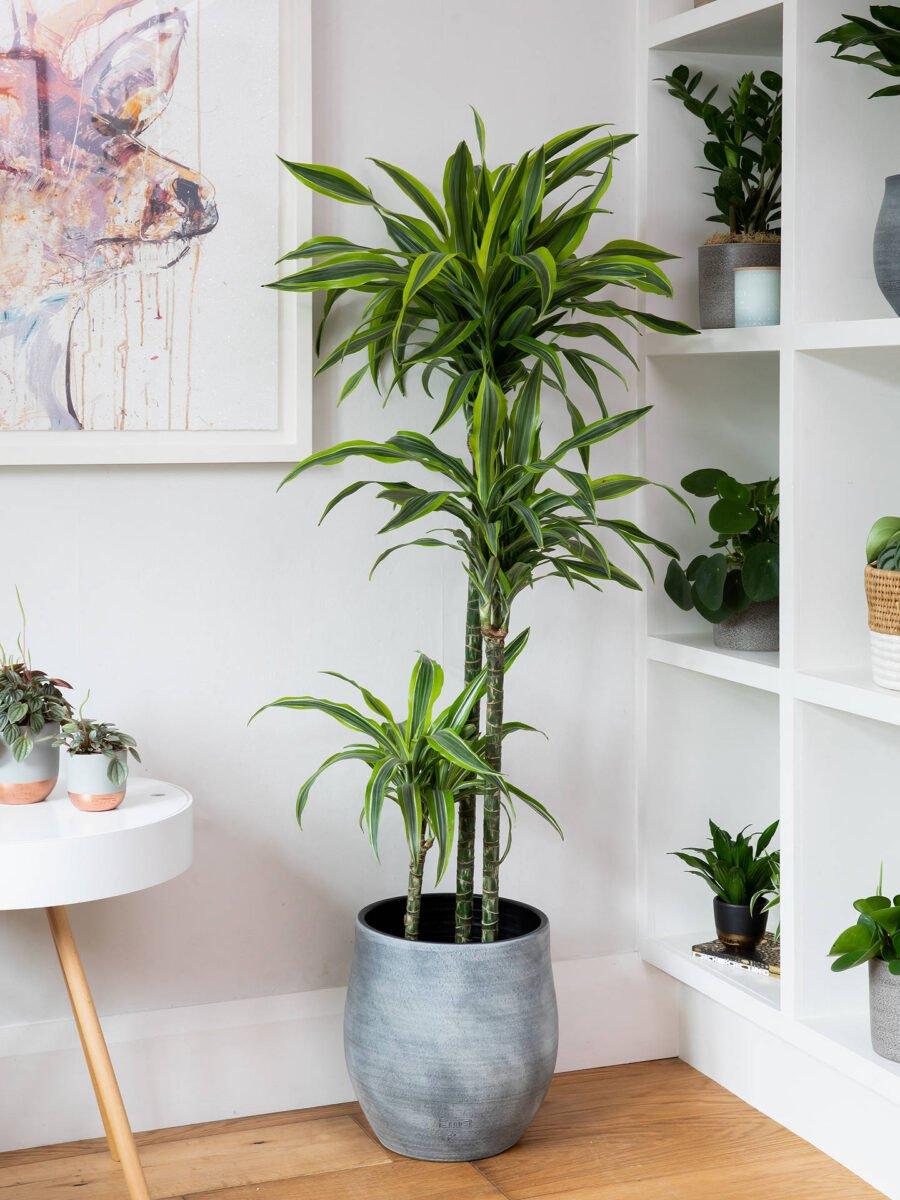 pianta-umidita-dracena-2