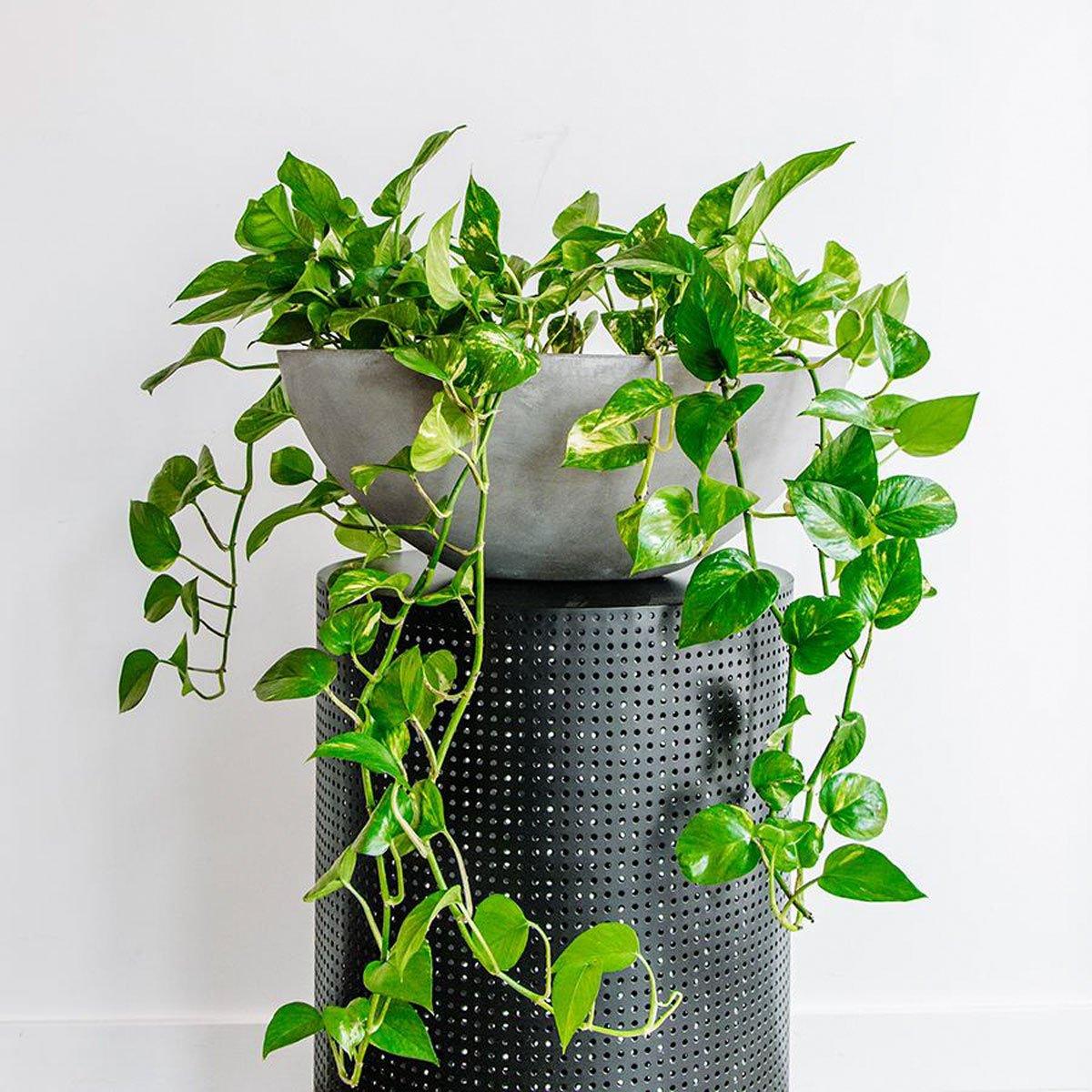 pianta-umidita-potos-1