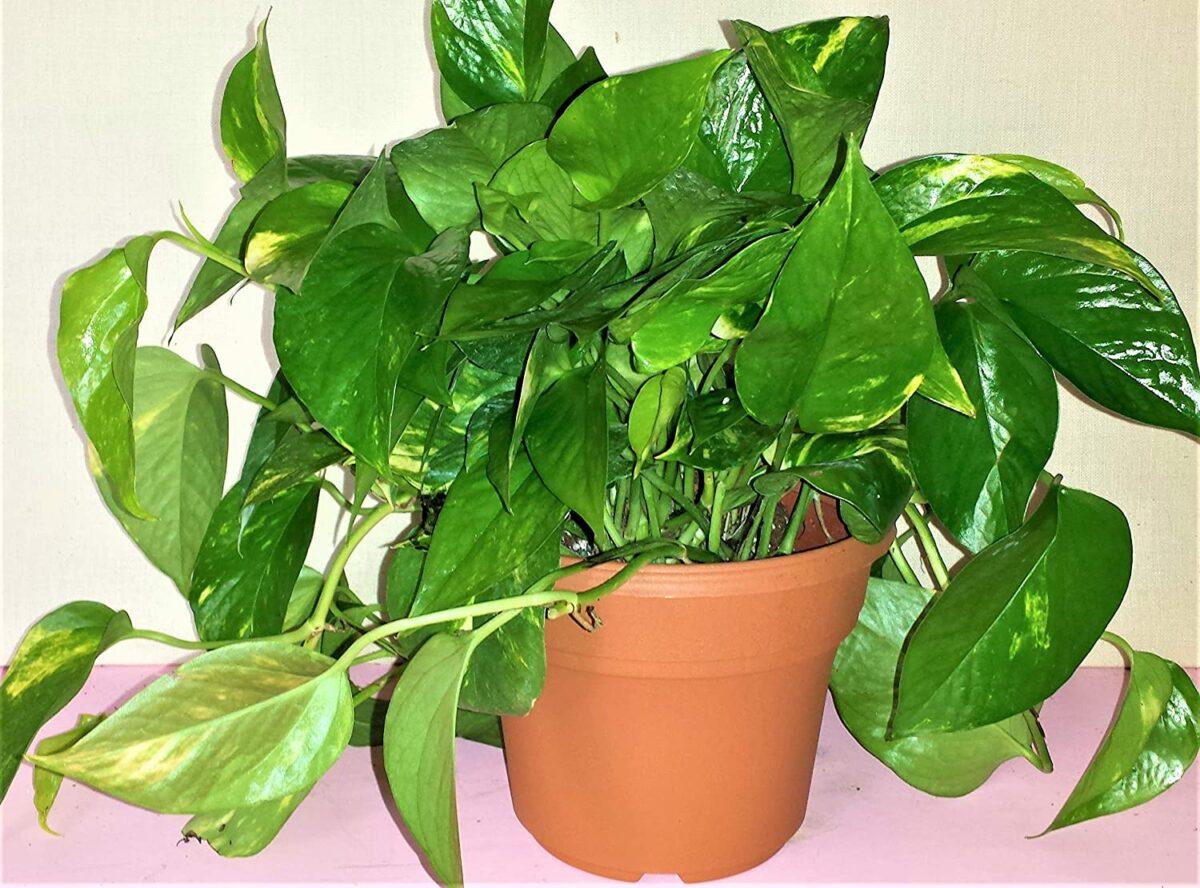 pianta-umidita-potos-2