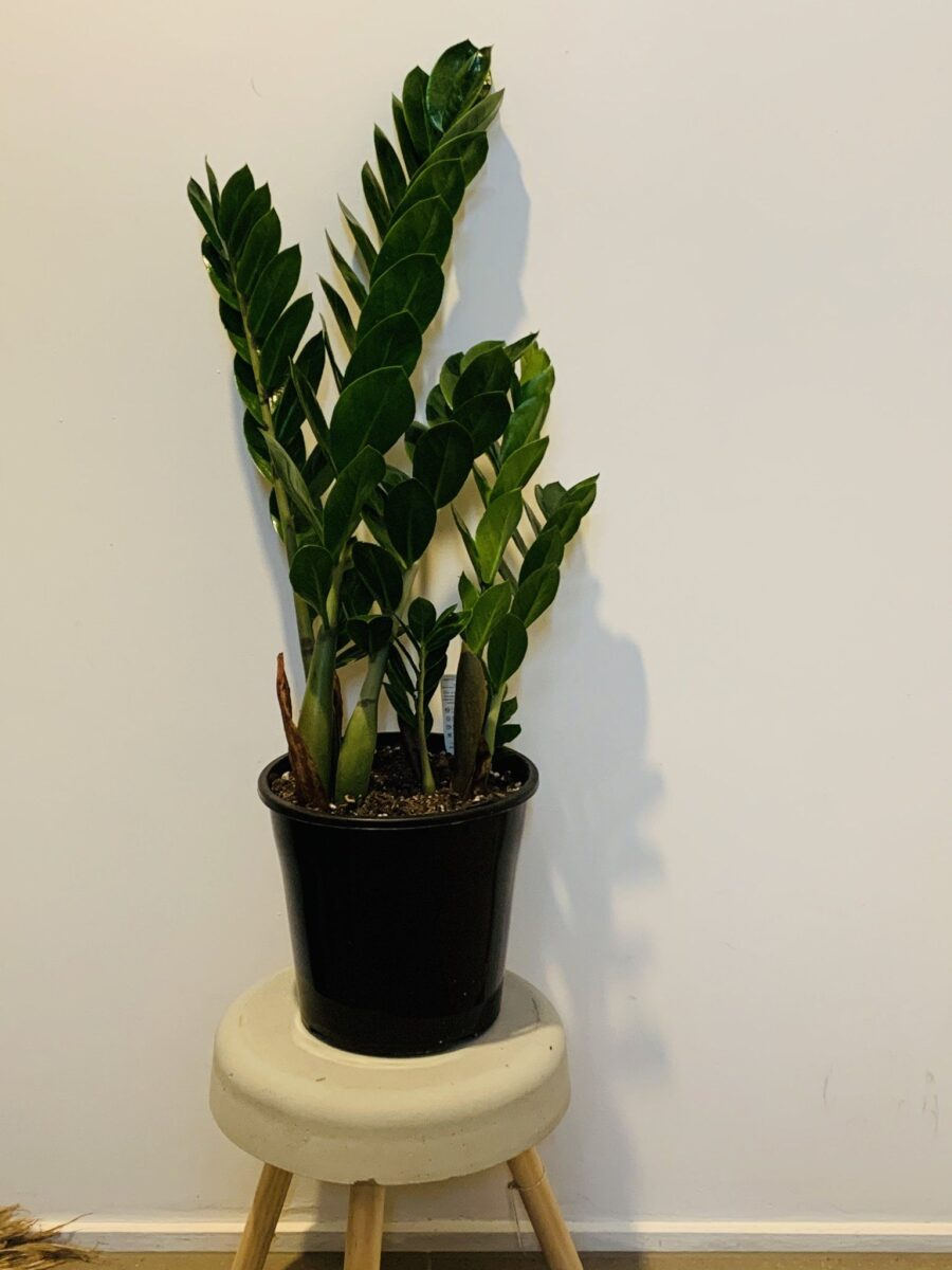 piante-poca-luce-4