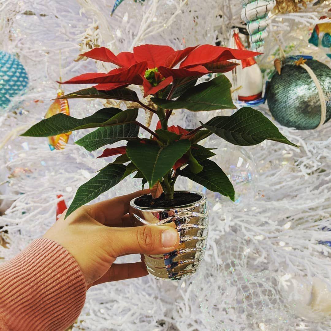 piante-adatte-cena-capodanno-5