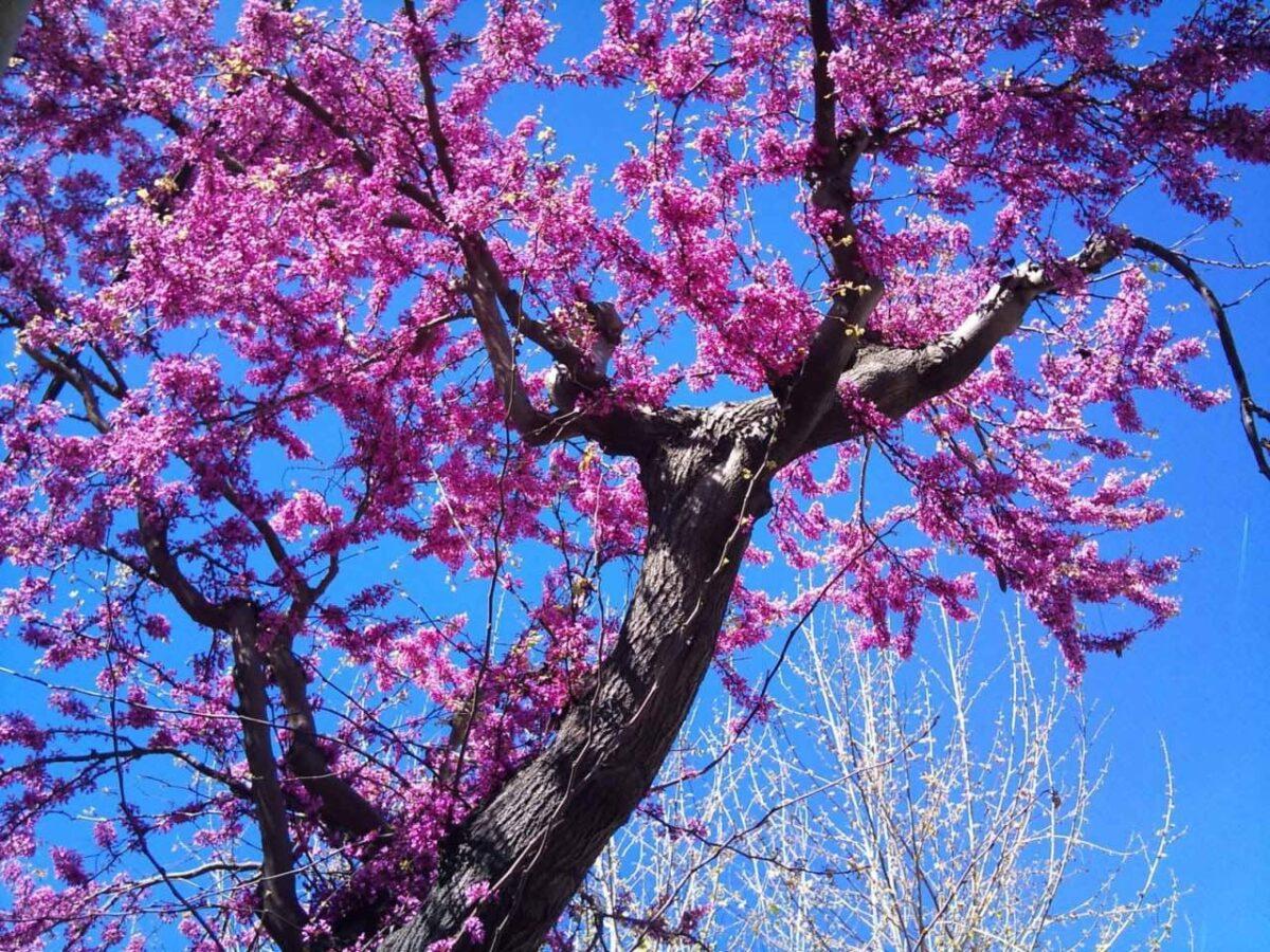 albero-di-giuda-resistente-alla-siccita-