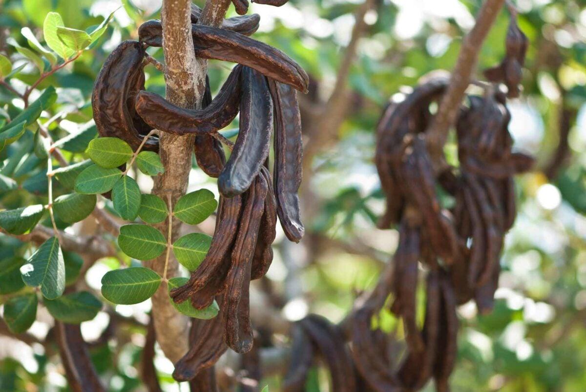 carrubo-pianta-resistente-alla-siccita-