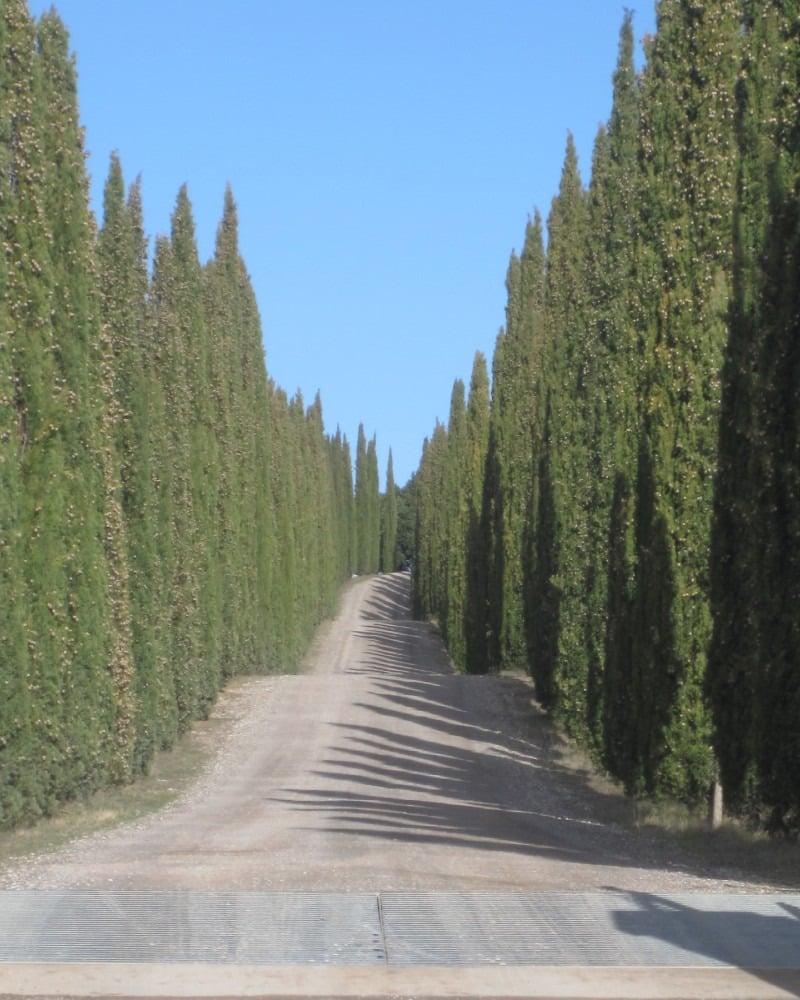 cupressus-cipresso-nero-toscana